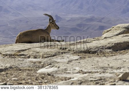 Single Nubian Ibex Lying On A Rock Against The Background Of The Ramon Crater Mountains. Israel