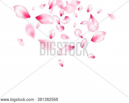 Pink Cherry Blossom Petals Isolated Windy Blowing Background. Flying Sakura Flower Parts Spring Wedd