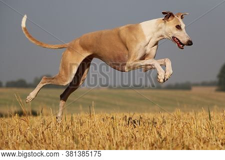Beautiful Brown Galgo Ist Running On A Stubble Field