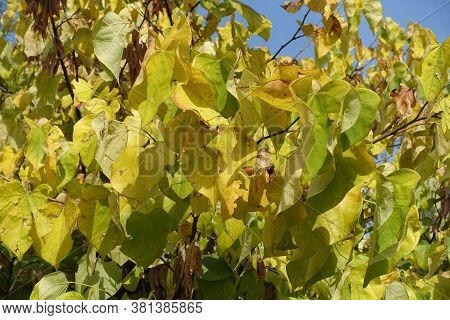 Branch Of Cercis Canadensis With Autumnal Foliage In September