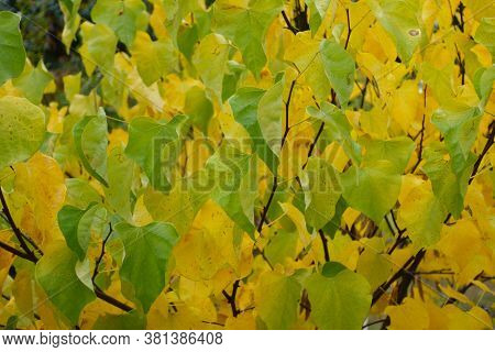 Colorful Foliage Of Cercis Canadensis In October