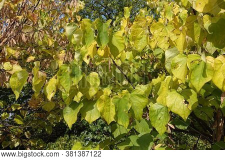 Greenish Yellow Foliage Of Cercis Canadensis In September