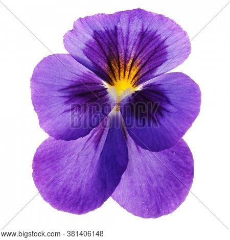 Violet flower isolated on white background, macro shot