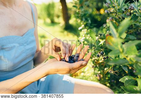 Woman Hands Picking Ripe Blueberries Close Up Shoot With Bowl, Full Of Berries. Blueberry - Branches