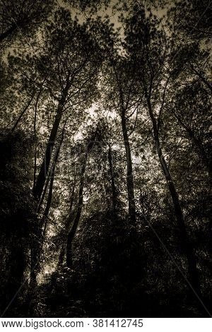 Looking Upwards To The Silhouetted Natural Beauty Of Pine Trees Forest