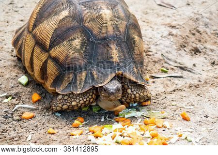 Front View Of Radiated Tortoise (latin: Astrochelys Radiata) With Brown, Figured Shell, Eating Carro