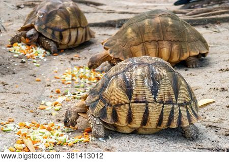 Side View Of Three Radiated Tortoises (latin: Astrochelys Radiata) With Brown, Figured Shell,eating