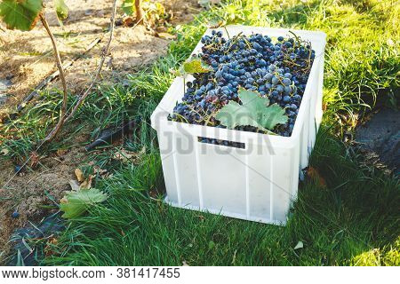 Blue Vine Grapes. Cabernet Grapes In A Box After Autumn Harvest, Ready To Be Used For Making Wine.