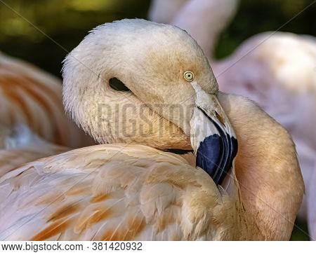 Greater Flamingo (phoenicopterus Roseus) Is The Most Widespread And Largest Species Of The Flamingo