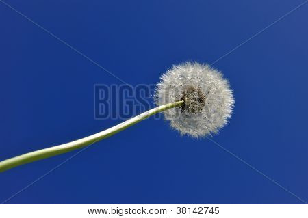 Dandelion In The Sky