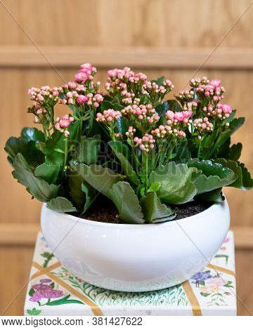 Widow's-thrill, Kalanchoe In The White Pot With A Isolated Background