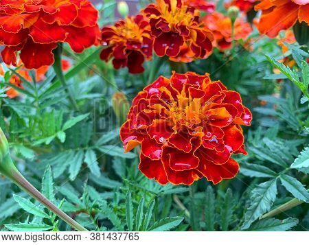 Blooming Marigolds In The Garden With Water Drops. Blooms Bright Orange, Yellow, Lush, Beautiful Flo