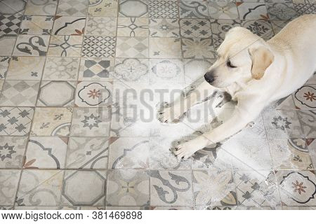 Labrador Dog Looking With Guilty Expression, Lying Next To Inverted Packet Of Flour Sprinkled On Flo