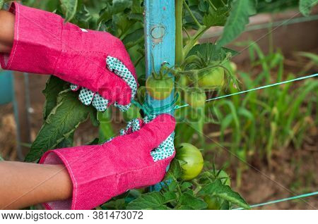 Staking Of Green Tomatoes By Farmer Hands