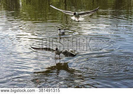 A Flock Of Seagulls Flies Over The Lake In The Park