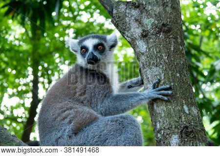 Furry Curious White And Grey Lemur (latin: Lemur Catta) Sitting On The Tree With Vivid Green Leaves