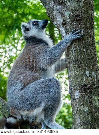 Furry White And Grey Lemur (latin: Lemur Catta) Climbing The Tree In Vivid Green Leaves Background.