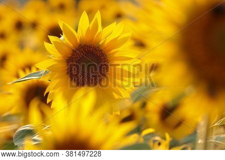 Sunflower field sunset Nature background Sunflowers meadow Nature background Macro garden Nature background Nature background sunset Nature background Flower dusk sunrise Nature background bloom Nature background sun flowers Nature background.