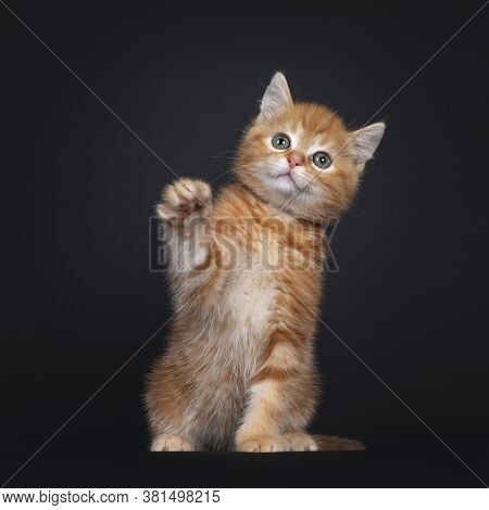 Cute Red Tabby Shorthair Cat Kitten, Sitting Facing Front. Looking Playful  Above Camera With Greeni