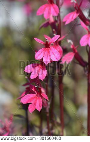 Pink Cardinal Flower - Latin Name - Lobelia Cardinalis