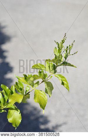 Golden Dewdrop Branch - Latin Name - Duranta Erecta