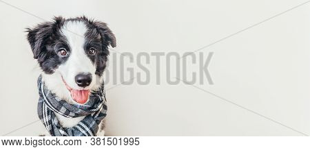 Funny Studio Portrait Of Puppy Dog Border Collie Wearing Warm Clothes Scarf Around Neck Isolated On