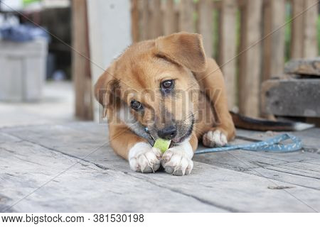 A Lovely Brown Puppy Is Laying Down Gnawing Eating Fruit With Deliciousness.