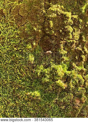 Beautiful Green Moss On The Tree. Tree With Moss. Moss Closeup.
