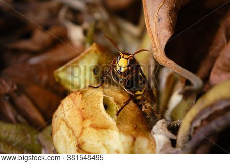 Close Up Of An European Hornet, Vespa Crabro. Horse Wasp On A Old Apple In A Compost Heap. Hornet Is