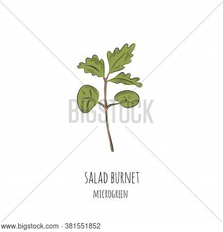 Hand Drawn Salad Burnet Micro Greens. Vector Illustration In Sketch Style Isolated On White Backgrou