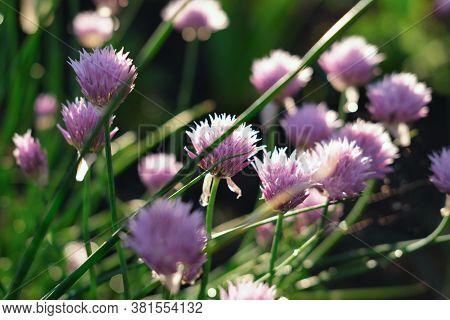 Wild Onion Flower Bulbs. Allium Flowers. Inflorescence Of Decorative Onion In The Garden. Ornamental