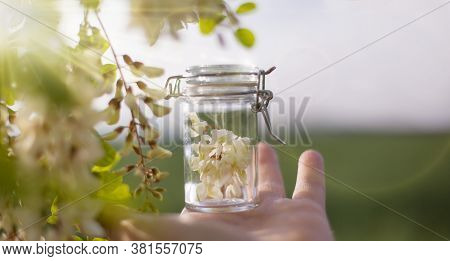 Robinia (false Acacia) Essential Oil (remedy, Extract) Bottle With Fresh Acacia Flowers