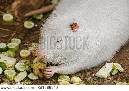 Image Of White Coypu (myocastor Coypus) Eating Vegetables