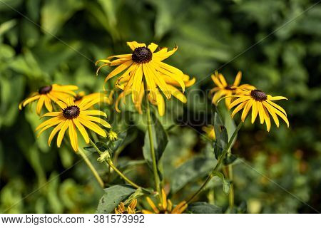 Several Black-eyed Susan Flower Blossoms, Rudbeckia Hirta, In Beautiful Garden. Selective Focus With