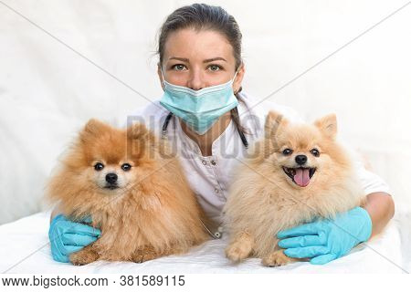 Young Woman Veterinarian Hugs Happy Dogs. Vet Doctor Examines Two Senior Pomeranian Spitzs In The Cl