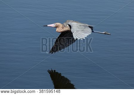 A Reddish Egret Bird Flies Low Over Water Reflecting A Blue Florida Sky At Ding Darling National Wil
