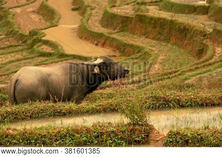 Water Buffalo Gazing Into The Open On The Rice Paddies Of Lao Chai, Sa Pa, Vietnam. In Vietnam, Wate