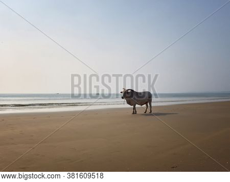White Horned Bull Stands On The Sandy Beach Opposite The Sea. Indian Cow, Holy Cow, Sacred Animal