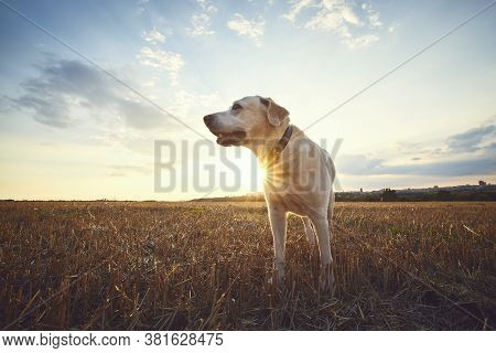 Old Dog At Sunset. Labrador Retriever Walking On Field.