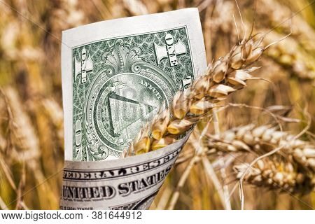 Green And Yellow Oats Or Other Cereals On Agricultural Land, Farming For Yield And Profit, Money In