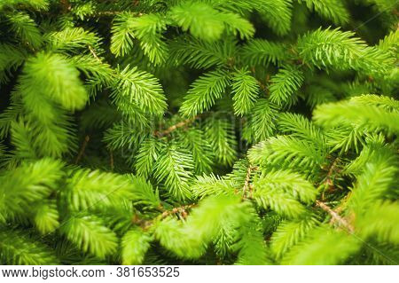 Norway Spruce - Picea Abies Or European Spruce New Needles. Natural Background Texture. Selective Fo