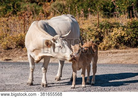 A Large Cow With Horns Licking It's Young Calf In The Mountains Of Corsica