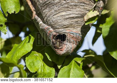 Wasp Hive Made By Wasps On A Tree In The Garden, Close-up Of The Housing Of Wild Wasp Insects