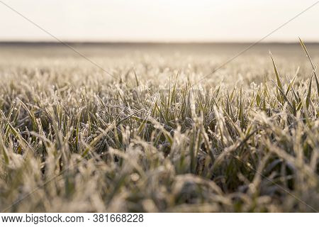 Winter Wheat Covered With Ice Crystals And Frost During Winter Frosts, Early Grain Harvest, Grass On