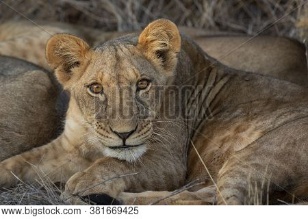 Cute Baby Lion With Beautiful Big Eyes Close Up Looking Very Interested In Samburu National Park In