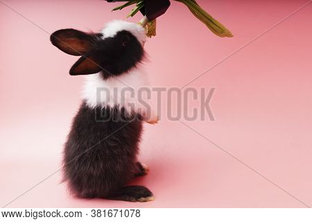 Adorable Little Young Black And White Rabbits Getting Up To Eating Green Fresh Lettuce Leaves On Iso