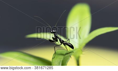 Asian Ant Mimicking Mantis (odontomantis Planiceps) In A Leaf Stock Photo