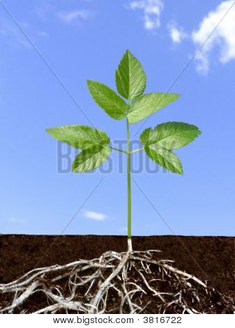 Green plant with divaricate root system over blue sky. poster