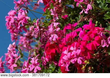 Colorful Flowering Phlox On A Sunny Day. Beautiful Background Of Blooming Flowers.
