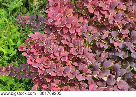 Cultivar Thunbergs Barberry Twigs (berberis Thunbergii